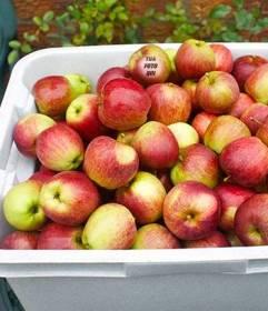 Gioco per i vostri bambini a mangiare bene e divertirsi allo stesso tempo alla ricerca di loro foto in una di queste mele