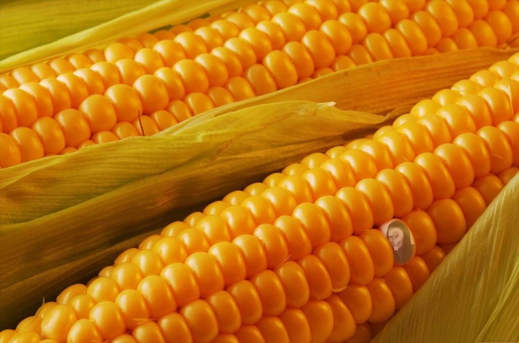 Fotomontaggio per nascondere la tua foto su un chicco di mais e di dire ai tuoi amici per trovare te